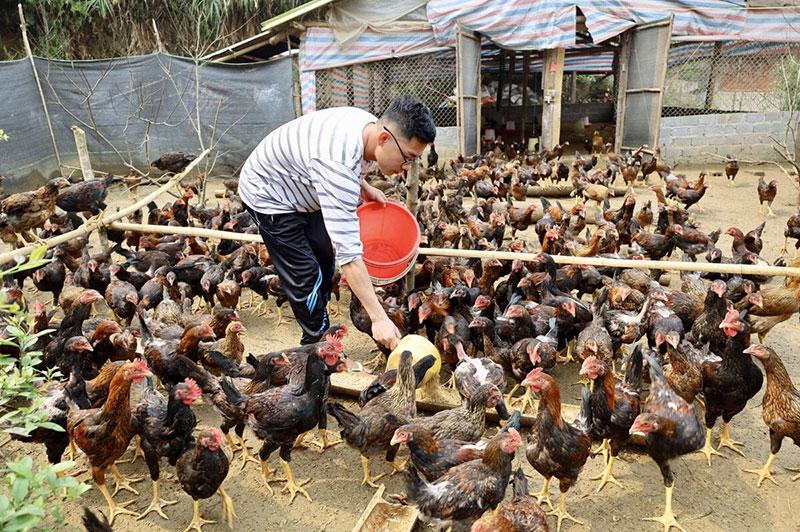 9X làm giàu từ mô hình chăn nuôi gà